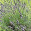 /Images/johnsonnursery/product-images/Lavandula Phenomenal070116_tb6r6zjuo.jpg